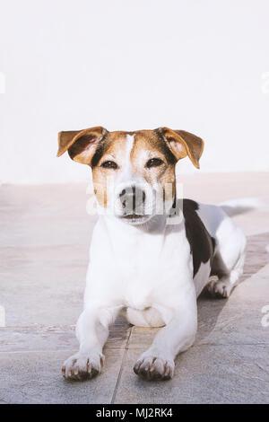 Jack Russell chien charmant se trouve sur le balcon en profitant du soleil, looking at camera Banque D'Images