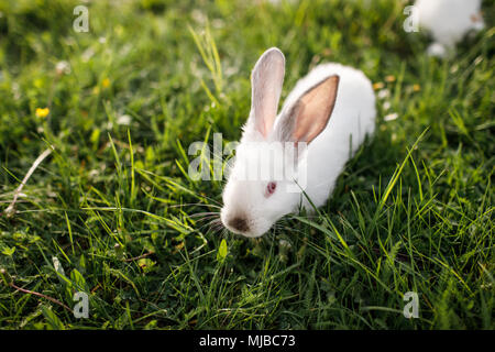 Petit lapin sur l'herbe verte en été 24 Banque D'Images