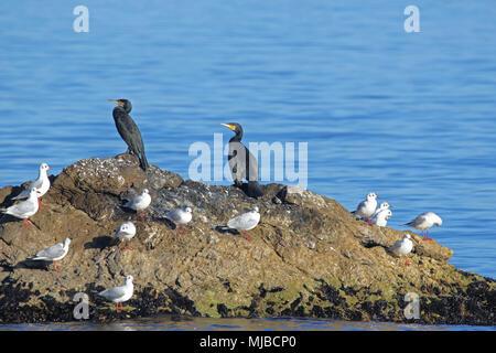 Deux aigrettes ou foie oiseaux posés sur un rocher au bord de la mer avec des goélands en Portonovo Italie nom Latin pelecaniformes phalacrocorax carbo