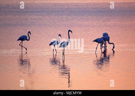Italie, Sardaigne, West Coast, Oristano, péninsule de Sinis, Porto, Mandriola Capo Mannu, Stagno Sale Porcus, Flamingo, matin, l'humeur Banque D'Images