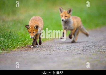 Le renard roux, Vulpes vulpes, deux jeunes renards, Germany, Europe Banque D'Images