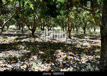 Mangues laissés à pourrir DE L'Orchard Banque D'Images