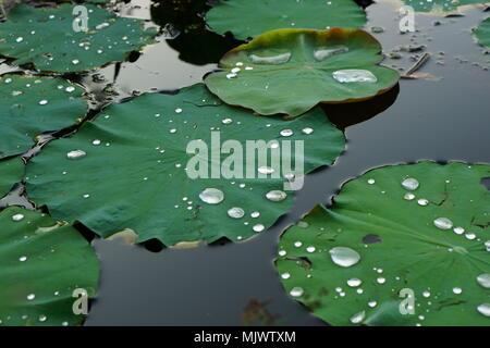 Feuille de lotus avec des gouttelettes d'eau sur eux Banque D'Images