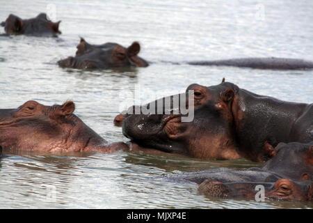 Un troupeau d'hippo (Hippopotamus amphibius) dans un lac en Tanzanie Banque D'Images