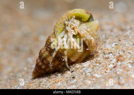 L'ermite commun (Pagurus bernhardus), autour de l'île d'Oléron, Océan Atlantique, France Banque D'Images