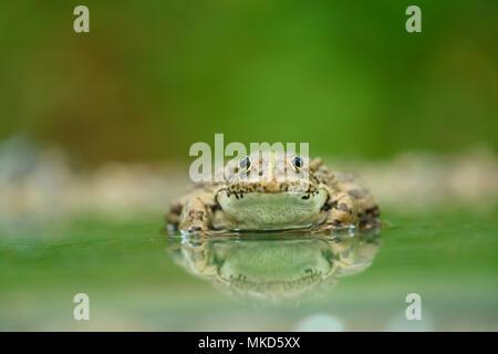 Eurasian Marsh Frog (Rana ridibunda) dans l'eau, la Bulgarie