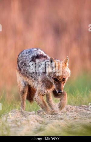 Le Chacal (Canis aureus'moreoticus), delta du Danube, Roumanie
