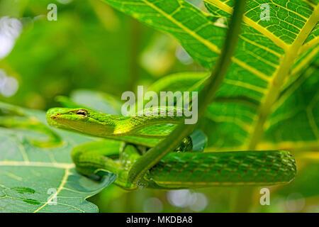 Serpent de vigne (Ahaetulla prasina) de Tomohon Sulawesi du Nord.