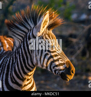 Zèbre des plaines (Equus quagga burchellii) dans le parc national Kruger, Afrique du Sud Banque D'Images