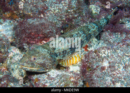 Lizarfish (Synodus synodus) sur le fond, Tenerife, Canaries. Banque D'Images
