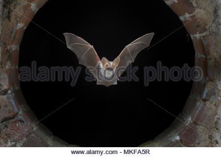 424edef33ec117 ... Long gris Plecotus austriacus (chauve-souris), volant à travers la  fenêtre de