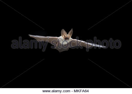 612562d846fe86 Parution du modèle  Long gris Plecotus austriacus (chauve-souris), volant à  travers la fenêtre de