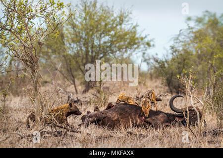 L'Hyène tachetée (Crocuta crocuta) et le chacal (Canis mesomelas) dans le parc national Kruger, Afrique du Sud Banque D'Images