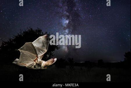 f630082b718646 ... Grande chauve-souris brune (Plecotus auritus) volant sous la voie  lactée, Salamanca