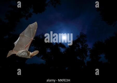 fe0f40fe51e809 Grande chauve-souris brune (Plecotus auritus) en vol, Salamanca, Castilla y