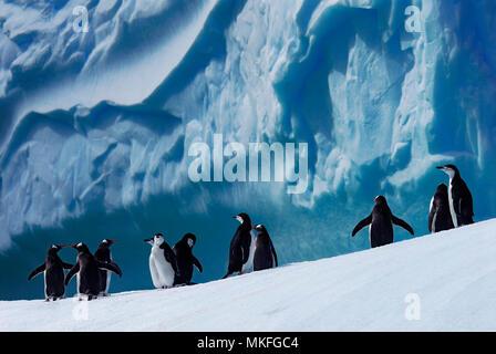 Manchot à Jugulaire (Pygoscelis antarcticus) et Gentoo pingouin (Pygoscelis papua). Péninsule antarctique. Banque D'Images