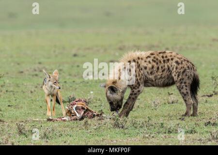 Le Chacal (Canis mesomelas) enchaînés, attente de la Hyène tachetée (Crocuta crocuta) pour finir de manger la Gazelle de Thomson, ils ont tué, Réserve Masai-Mara, Kenya Banque D'Images