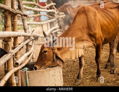 Belle scène de bétail de l'eau potable dans les régions rurales agricoles agricoles naturelles. L'industrie alimentaire de l'élevage traditionnel, style campagne concept.
