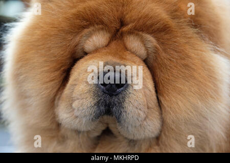 Close up of chow chow chien Banque D'Images