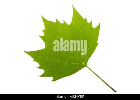 Londres (platane Platanus acerifolia) feuille Banque D'Images