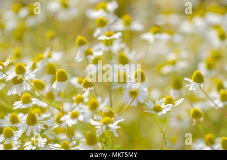 Fleurs de camomille sauvage sur un champ sur une journée ensoleillée. Profondeur de champ Banque D'Images