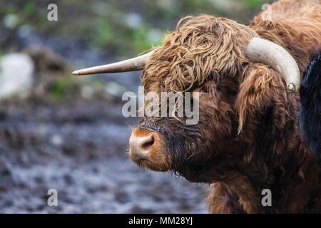 Portrait d'un taureau Highland dans un pâturage près de Skjolden, la Norvège. Banque D'Images