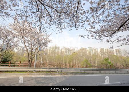 Fleur de cerisier en fleurs Banque D'Images