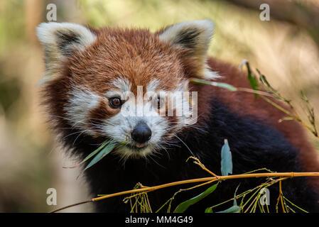 Le Panda rouge ou également connu sous le nom de l'Cat-Bear rouge. Il est légèrement plus grand qu'un chat domestique et est mosty trouvés dans l'Est de l'Himalaya Banque D'Images