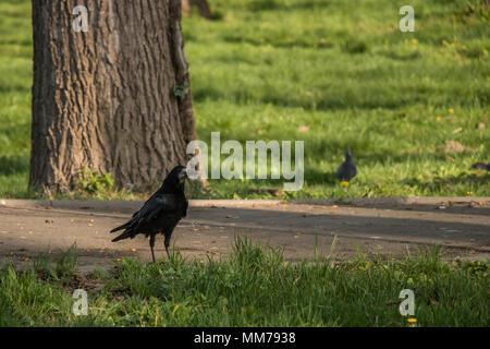 Scène d'attente et stand Crow Banque D'Images