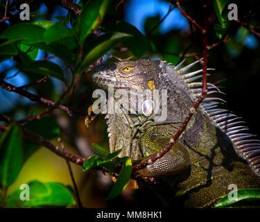 Un grand Iguana est assis dans un arbre un jour de printemps dans les Everglades de Floride. Les iguanes sont des créatures très coloré même si ils obtiennent une mauvaise réputation. Banque D'Images