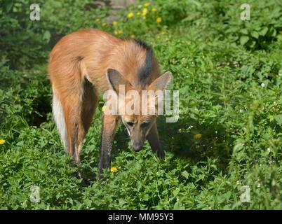 Le loup à crinière (Chrysocyon brachyurus), il porte des similitudes mineures à red fox, bien qu'il appartient au genre différent Banque D'Images