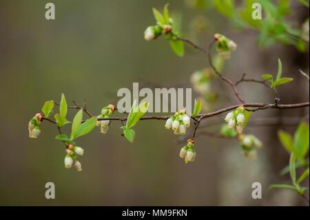 Huckleberry bleu à fleurs Banque D'Images