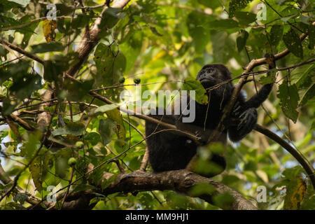 Fuligineux Alouatta palliata singe hurleur, Cebidae, Parc National Manuel Antonio, Costa Rica, Amérique Centrale Banque D'Images
