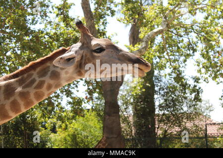 Tête de girafe en premier plan Banque D'Images