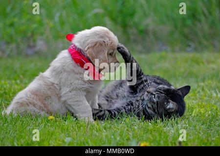 Cute chiot Golden Retriever et chat tigré jouent ensemble dans l'herbe.