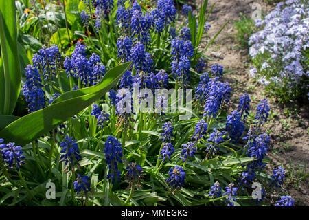 Fleurs muscari bleu sur fond d'herbe verte brouillée dans le jardin de printemps