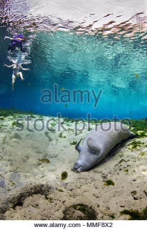 Un lamantin de Floride, Trichechus manatus latirostris, prend une sieste sur le dos au bas de Fanning Printemps comme les plongeurs nagent au-dessus. Banque D'Images