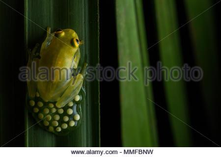 Fleischmann mâle Grenouille en verre, Hyalinobatrachium fleischmanni, protéger les œufs déposés sur une feuille. Banque D'Images