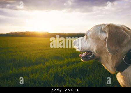 Portrait du chien heureux au coucher du soleil. Labrador retriver regardant le soleil. Banque D'Images