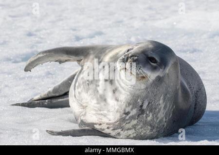 Phoque de Weddell Leptonychotes weddellii hot allongé sur la glace près de Hope Bay, sur la côte, l'Antarctique Banque D'Images