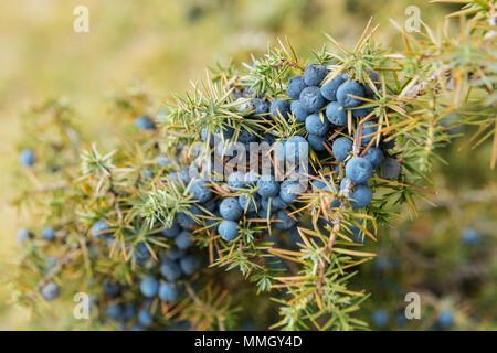 Close up d'une cuillère remplie de wild baies de genévrier (Juniperus Communis) Banque D'Images
