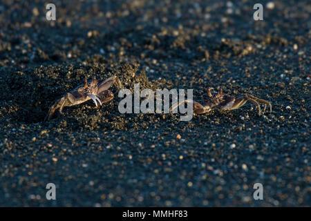 Le crabe fantôme peint, Ocypode gaudichaudii Ocypodidae, karaté, Plage, Parc national de Corcovado, péninsule d'Osa, au Costa Rica, Amérique Centrale Banque D'Images