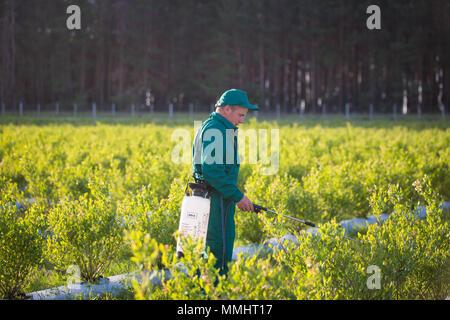 L'Ukraine, région de Kiev, 2 juin 2017: ouvrier agricole en uniforme vert la pulvérisation de pesticides sur les champs de bleuets. Banque D'Images