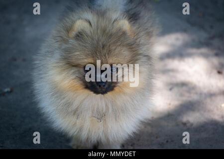 Chiot Pomeranian marcher sur l'herbe mignon petit chien moelleux Banque D'Images