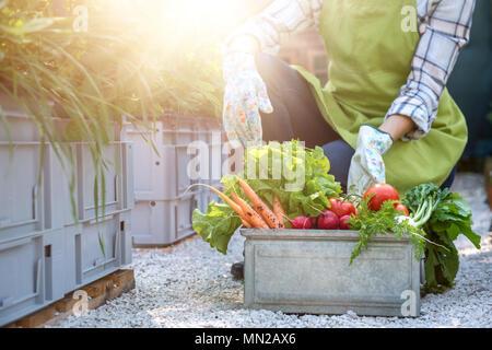 Méconnaissable female farmer holding caisse pleine de légumes fraîchement récoltés dans son jardin. Homegrown bio produit concept. Propriétaire de petite entreprise. Banque D'Images