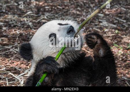 Les jeunes deux ans grand panda (Ailuropoda melanoleuca) cub eating bamboo Banque D'Images