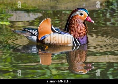 Canard mandarin (Aix galericulata) mâles nager dans l'étang, originaire de l'Asie de l'Est
