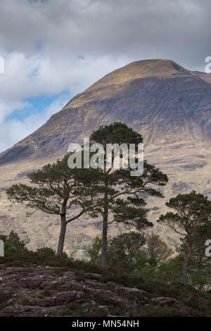 Pins calédoniens au-dessus le Loch Torridon, Ben Damh Estate, Wester Ross, Scotland, UK Banque D'Images
