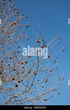 Platane avec des fruits Banque D'Images