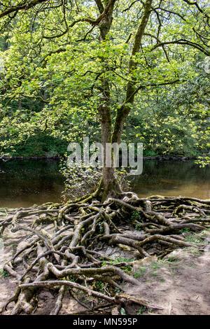Vieil arbre avec de grosses racines montrant au-dessus du sol dans le Yorkshire, UK Banque D'Images